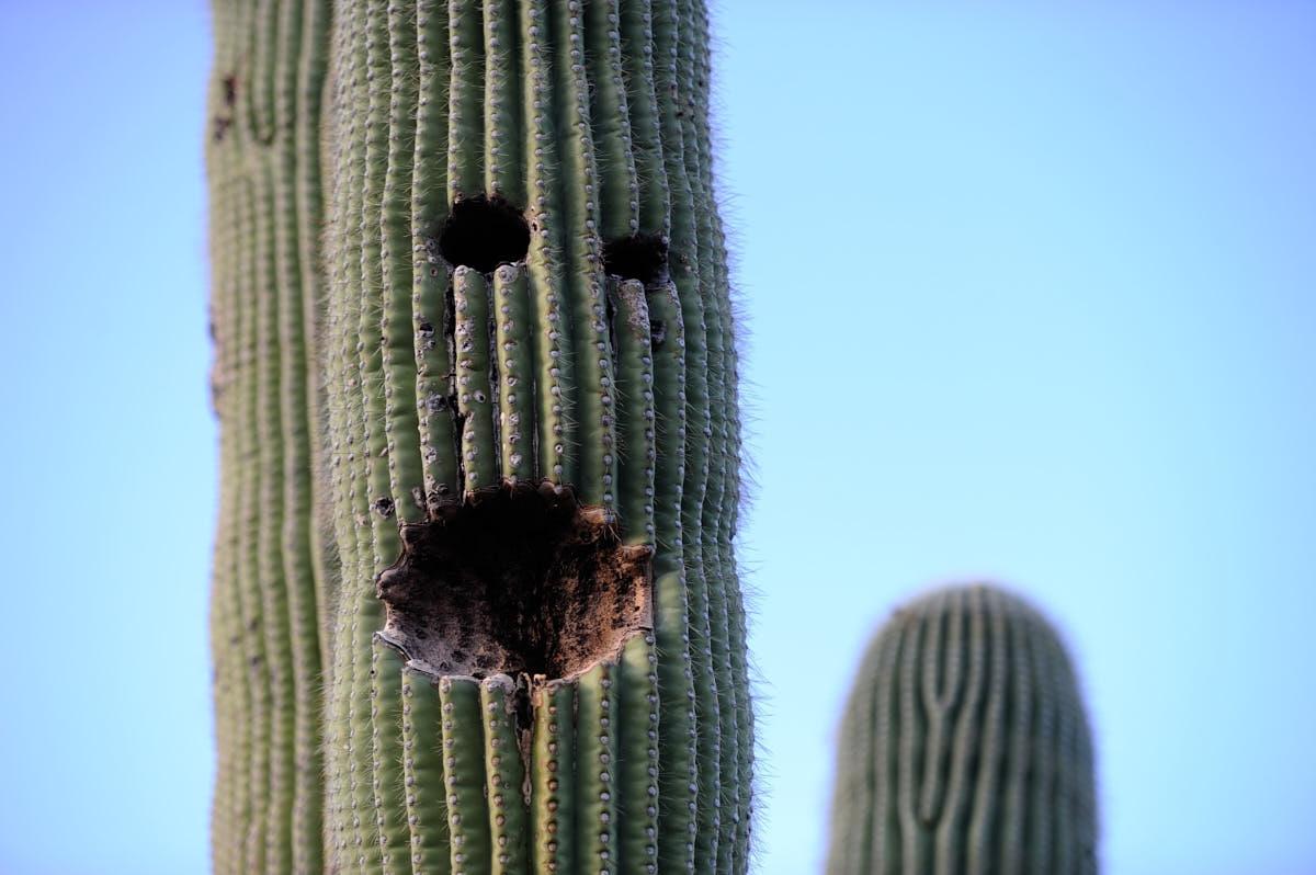AZ: Waving Saguaro Cactus in Tucson