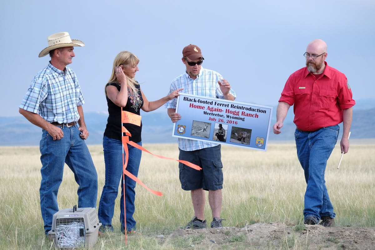 WY: Black-Footed Ferrets Reintroduced at Discovery Site Near Meeteetse